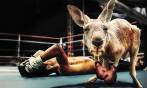 A kangaroo winning a boxing match